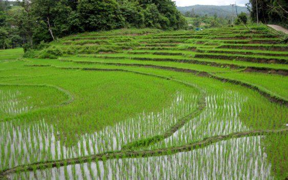 Оризот на нивите добро напредува