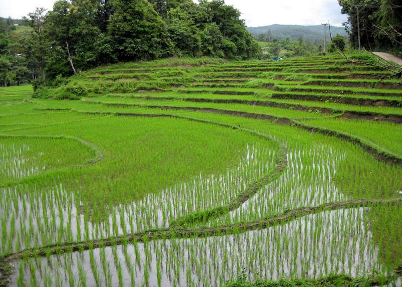 Photo of Оризот на нивите добро напредува