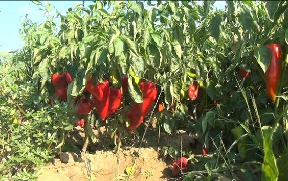 Високите температури ќе ги преполоват приносите на црвена пиперка