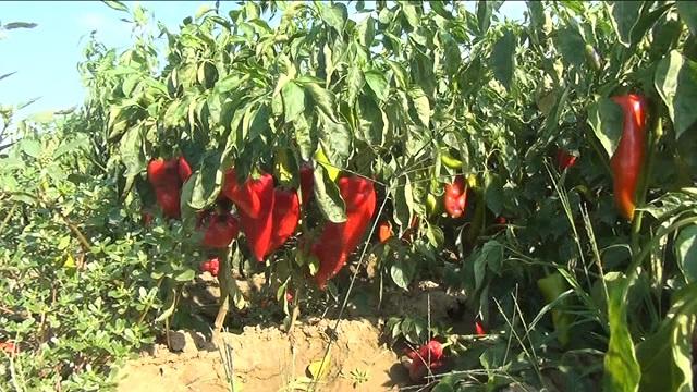 Photo of Високите температури ќе ги преполоват приносите на црвена пиперка
