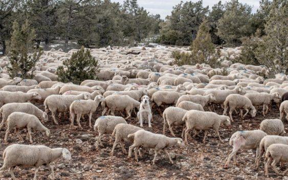 Се зголемуваат субвенциите за платите на овчарите и одгледувачите на добиток