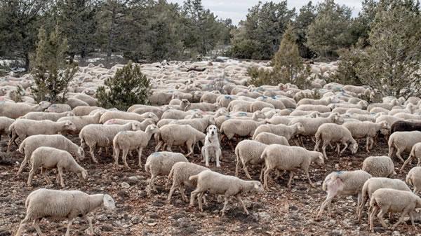 Photo of Се зголемуваат субвенциите за платите на овчарите и одгледувачите на добиток