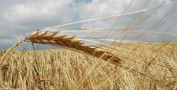 Топлотниот бран го намалил земјоделскиот род, најпогодени житните култури