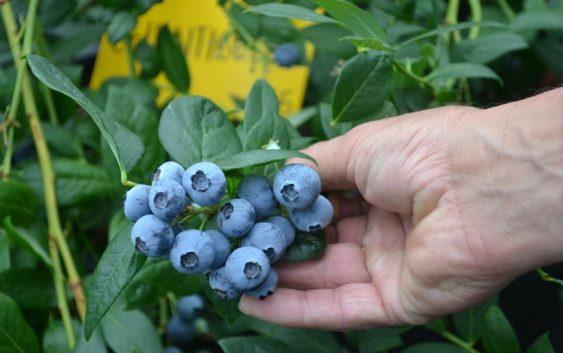 Боровницата – исплатлив агробизнис