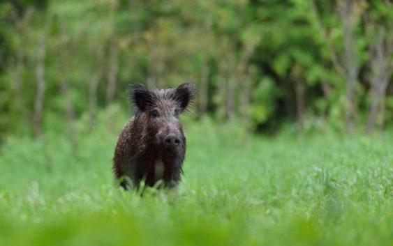 Диви свињи опустошиле насади и лозја во кратовско Живалево