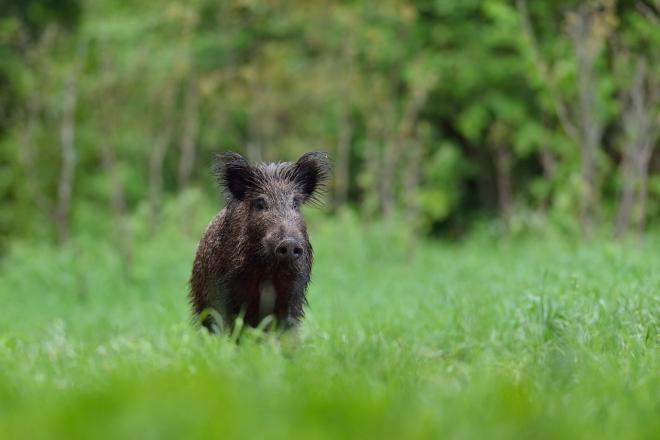 Photo of Диви свињи опустошиле насади и лозја во кратовско Живалево