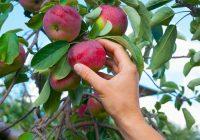 Колку пари нудат Хрватите за берба на јаболка?