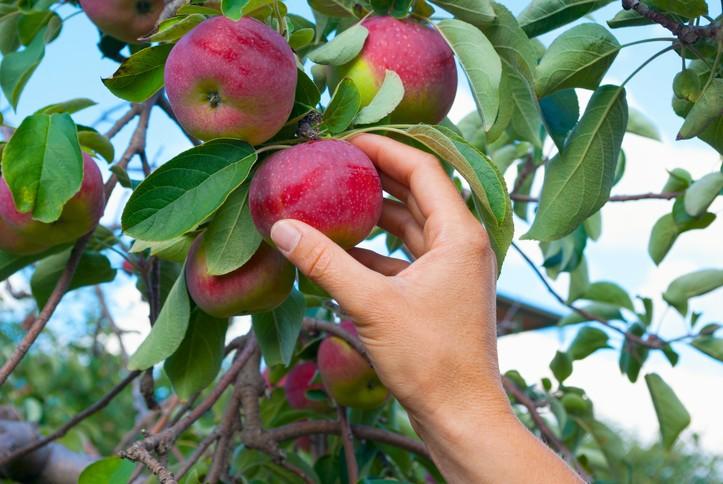 Photo of Колку пари нудат Хрватите за берба на јаболка?