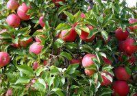 Лоша година за насадите со јаболка