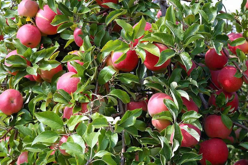 Photo of Лоша година за насадите со јаболка