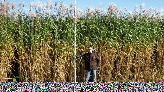 Photo of Мискантус- култура 1000% поисплатлива од пченката