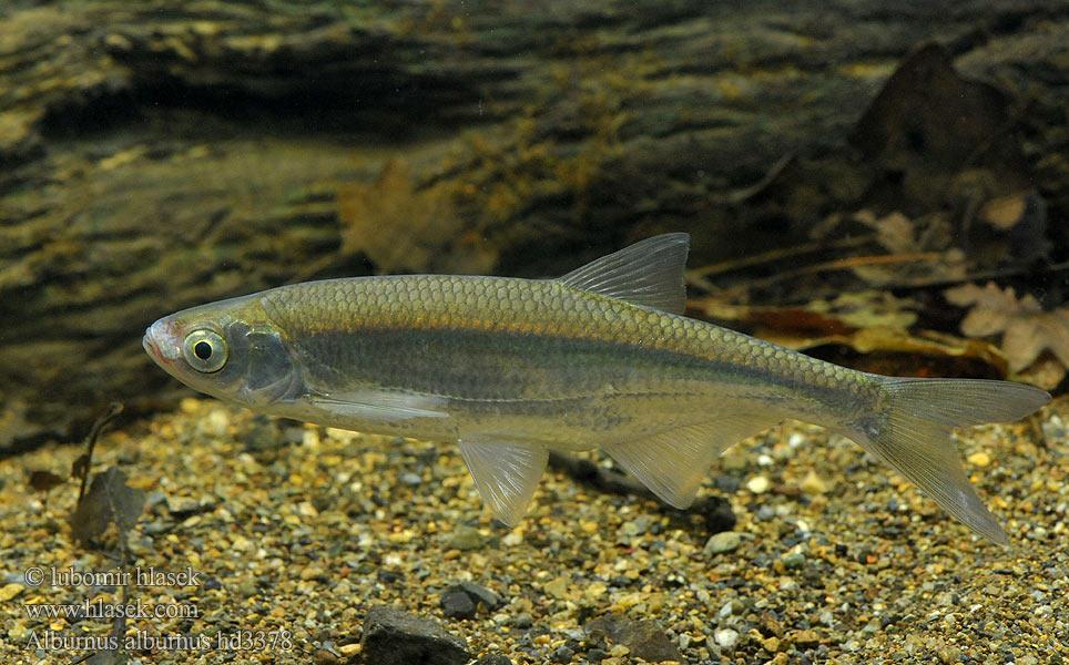 Photo of Плашица (белвиче, плашка) – Alburnus sp.