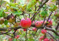 Зголемени откупните цени на јаболкото
