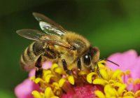 Пчелата – пријателот на земјоделецот