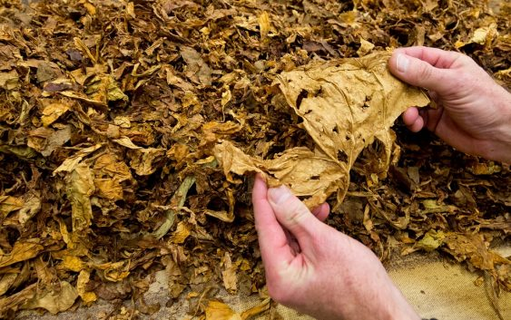 Помал род на тутунот