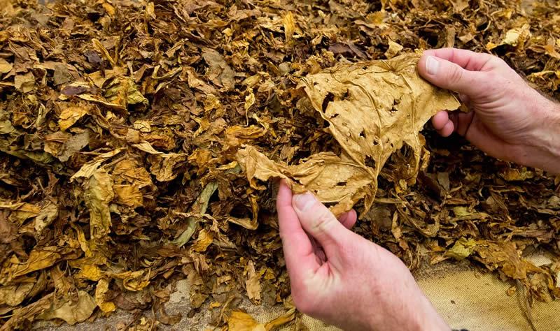 Photo of Помал род на тутунот