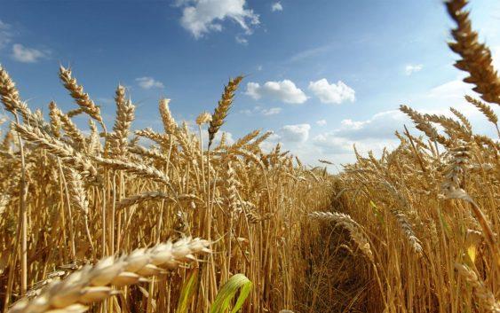 Сертифицирана семенска пченица за повисоки приноси