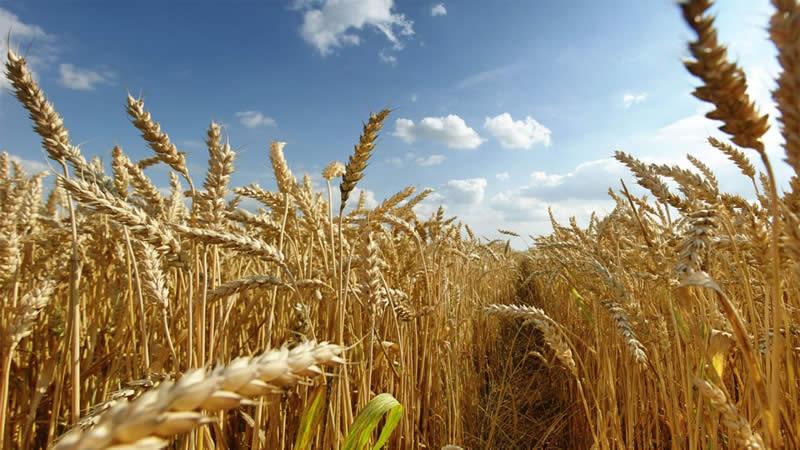 Photo of Сертифицирана семенска пченица за повисоки приноси