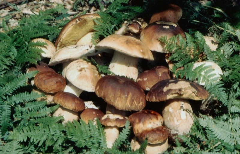 Photo of Собирање печурки – добар семеен бизнис