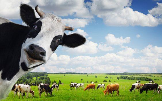Неконтролираната употреба на антибиотици кај добитокот штетна за луѓето
