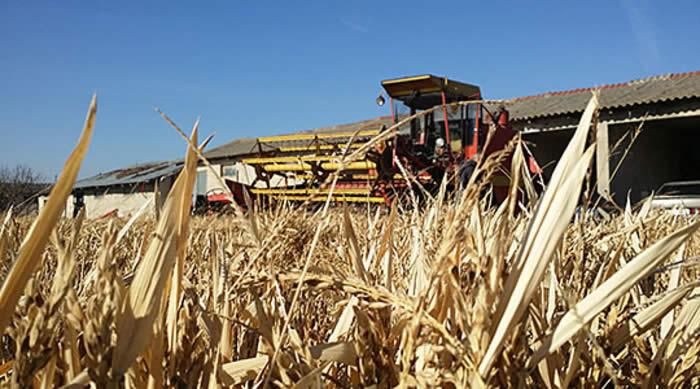 Photo of Заврши жетвата на оризот во кочанско