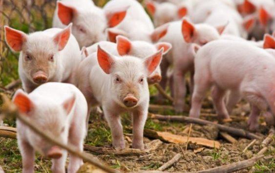 Свинска чума