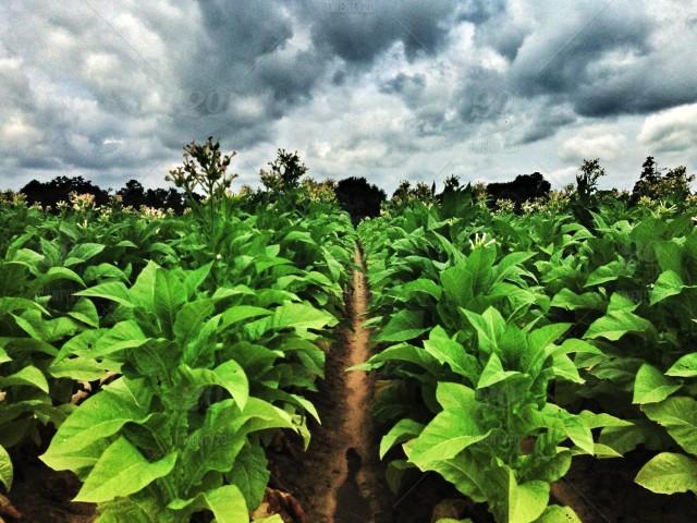 Photo of Почна откупот на тутун, тутунарите очекуваат повисока цена
