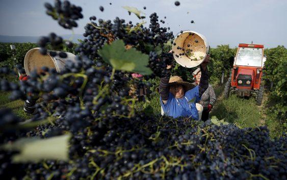 Заврши гроздоберската сезона во Кавадарци
