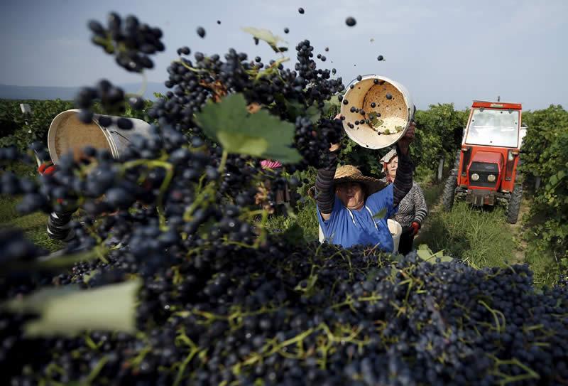 Photo of Заврши гроздоберската сезона во Кавадарци