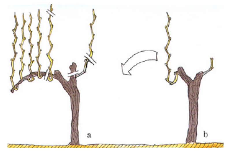 Photo of Зимска резидба на грозјето