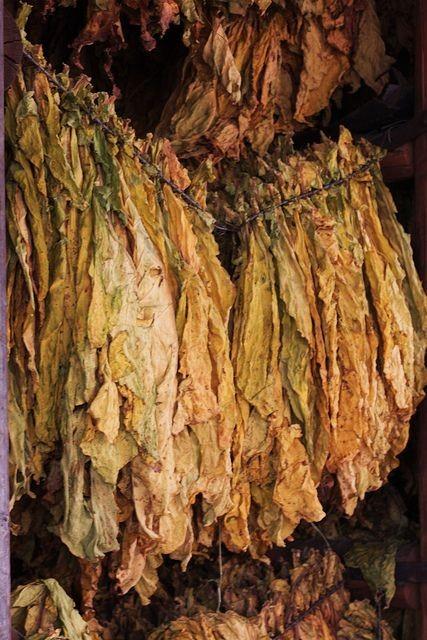 Photo of Откупот на тутун се одвива непречено, ќе се стимулира побарувачката