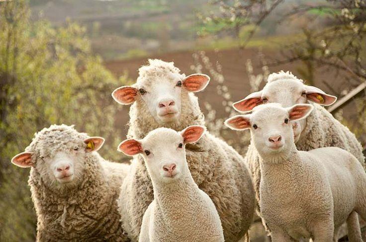 Photo of Субвенции за плати на овчарите