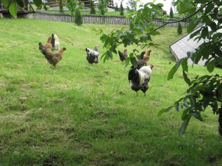 Photo of Како би требало да изгледа функционален кокошарник