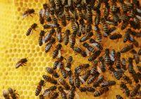 Клукајдрвецот-зимски непријател на пчелите