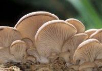 Начин за одгледување на печурки буковка