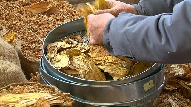 Photo of Привршува откупот на тутунот, ќе се зголемува побарувачката