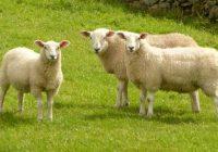 Паника кај сточарите, во Македонија нема веќе овци