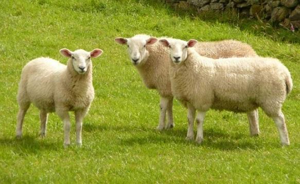 Photo of Паника кај сточарите, во Македонија нема веќе овци