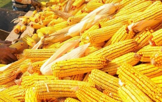 Сеидба на пченка