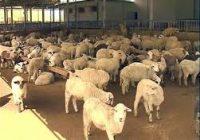 Ниска цената на јагнето и млекото, сточарите ги нудат стадата на продажба