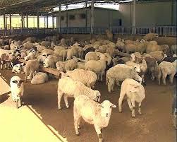 Photo of Ниска цената на јагнето и млекото, сточарите ги нудат стадата на продажба