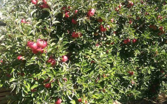"""""""Македонскиот земјоделец со род од 100 тона јаболка по хектар""""  – интервју со Г-дин Аднан Феим од с.Лавци ,intervju Преспа"""