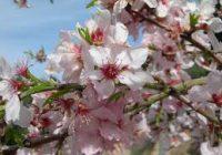 Kајсијата и бадемот ќе имаат помал род поради ниските температури