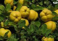 Потребен минимум за субвенции во овоштарството е 0,2 хектари