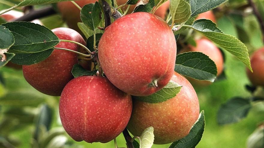 Photo of дали можи да се произведат 100 тона јаболка по хектар?