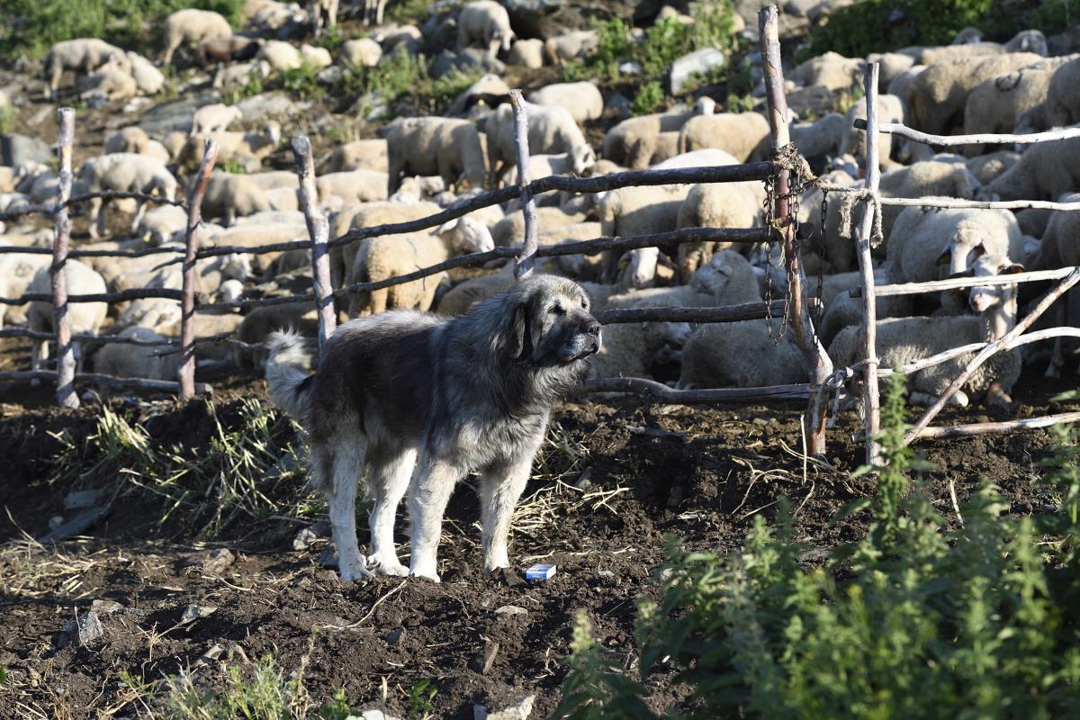 Photo of За домашниот шарпланинец по 3000 денари по куче