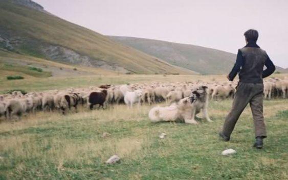 Овчарите ќе добиваат неповратна помош за плати