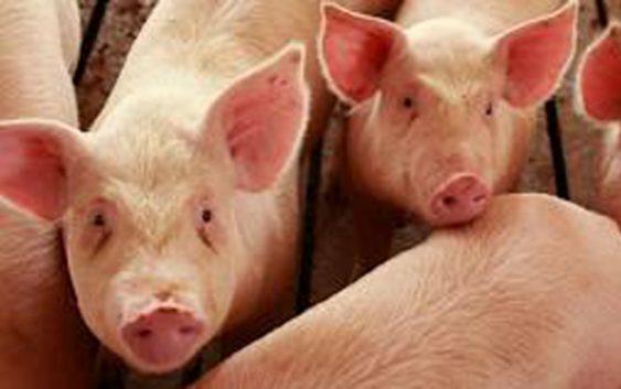 Работилница за унапредување на системот за идентификација на свињите