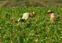 Почнаа подготовките за новата реколта тутун, интересот зголемен