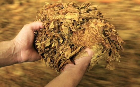 Од тутунот во Македонија живеат 40 илјади семејства